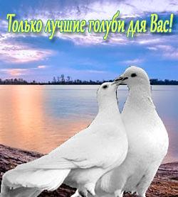 Голуби на свадьбу, свадебные голуби